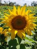 Duży żółty słonecznik obraz stock