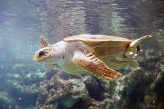 Duży żółw Fotografia Royalty Free