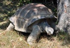 Duży żółw Zdjęcia Royalty Free