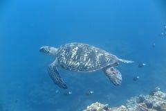 Duży żółw zdjęcia stock