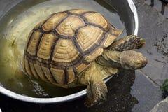 Duży żółw w zbiorniku Obraz Stock
