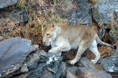 Duży żeński lew w sawannie Namibia Zdjęcia Royalty Free