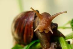 Duży Achatina ślimaczek Zdjęcia Stock