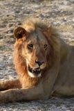 Duży Afrykański Męski lew Zdjęcie Stock