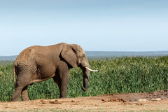 Duży afrykanina Bush słoń marznący w czasie Fotografia Royalty Free