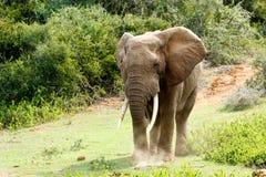 Duży afrykanina Bush słoń z ogromnymi bagażnikami Fotografia Royalty Free