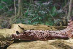Duży aligator na głazie Fotografia Royalty Free