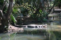 Duży aligator w zieleni wodzie z rośliną w zoo zdjęcia royalty free