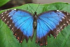 Duży błękitny motyl na zielonym liściu, morpho peleides fotografia royalty free