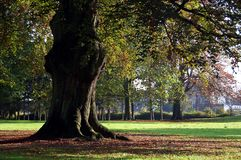 duży bagażnik drzewny Fotografia Royalty Free