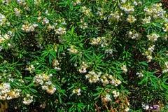 Duży białego kwiatu krzaka zakończenie up Obrazy Royalty Free