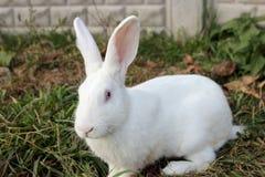 Duży biały królik Zdjęcie Stock