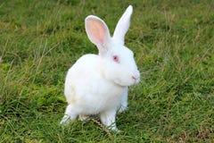 Duży biały królik Zdjęcia Royalty Free
