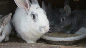Duży biały królik z marchewkami zbiory