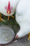 Duży biały kurczak na gospodarstwie rolnym Fotografia Royalty Free