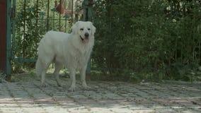 Duży bielu pies oddycha ciężko w ogródzie zbiory