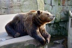 duży brązowy niedźwiedź Zdjęcie Stock