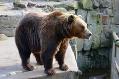 duży brązowy niedźwiedź Zdjęcie Royalty Free