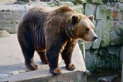 duży brązowy niedźwiedź Obrazy Stock