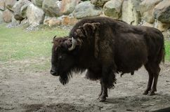 Duży brown żubr z rogów stojakami w Kyiv zoo zdjęcie royalty free