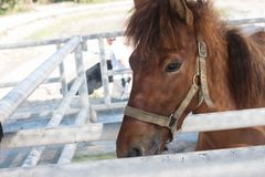 Duży brown koń Zdjęcia Stock
