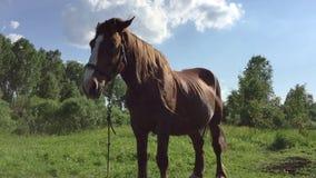 Duży brown koń staing przy łąkowym słonecznego dnia zakończenia widokiem Dużo insekty lata wokoło Zielonej trawy gazonu wiejska s zdjęcie wideo