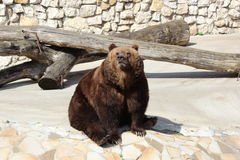Duży brown niedźwiedź Fotografia Stock