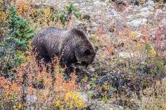 Duży brown niedźwiedź patrzeje dla trzonów trawy Obrazy Royalty Free