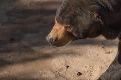 Duży brown niedźwiedź słucha Ursus arctos z ciemnym tłem obraz royalty free