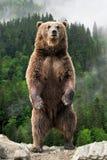 Duży brown niedźwiedź stoi na jego tylnych nogach fotografia stock