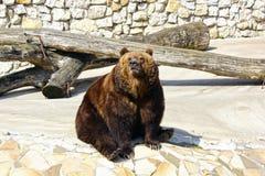 Duży brown niedźwiedź w Moskwa zoo Zdjęcie Royalty Free