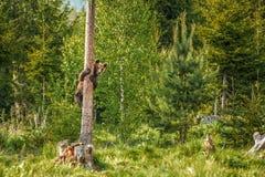 Duży brown niedźwiedź w naturze w lesie lub, przyroda, spotyka niedźwiedzia, zwierzę w naturze Zdjęcia Royalty Free