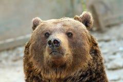 Duży Brown niedźwiedzia portret Zdjęcia Royalty Free