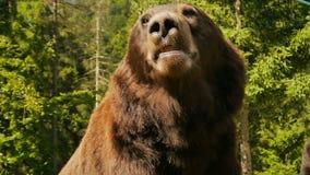 Duży brown niedźwiedzia zakończenie zbiory wideo