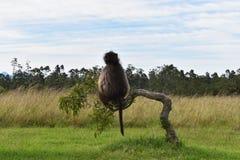 Duży brown pawian siedzi na gałąź w Południowa Afryka Obraz Stock