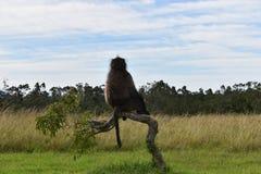 Duży brown pawian siedzi na gałąź w Południowa Afryka Zdjęcie Royalty Free