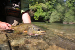 Duży brown pstrąg w rękach rybak Obrazy Royalty Free