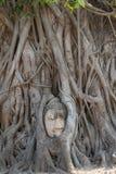 Duży Buddha osadza w drzewie obraz stock