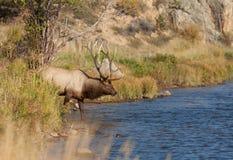 Duży byka łoś Iść dla napoju Obraz Stock