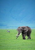 Duży byka słoń w obszarze trawiastym Afryka Zdjęcia Royalty Free