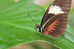 Duży czarny i czerwony motyl na zielonym liściu, frontowy widok obraz royalty free