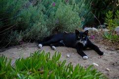 Duży czarny kot agresywny kot pantera Kot na naturze zdjęcia royalty free