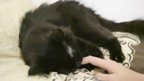 Duży czarny Maine coon kot bawić się w łóżku zbiory