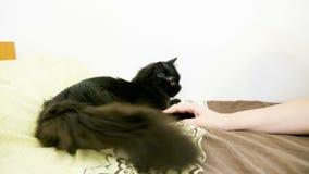 Duży czarny Maine coon kot bawić się w łóżku zdjęcie wideo