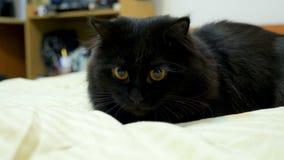 Duży czarny Maine coon kot bawić się w łóżku zbiory wideo