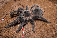 Duży czarny pająk z kosmatymi długimi nogami Ja rusza się wolno i zaciszność na ciepłej ziemi Pająk jest antycznym symbolem tajem zdjęcie royalty free