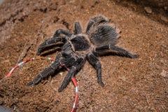 Duży czarny pająk z kosmatymi długimi nogami Ja rusza się wolno i zaciszność na ciepłej ziemi Pająk jest antycznym symbolem tajem zdjęcia royalty free