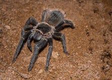 Duży czarny pająk z kosmatymi długimi nogami Ja rusza się wolno i zaciszność na ciepłej ziemi Pająk jest antycznym symbolem tajem obraz royalty free