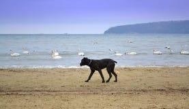 Duży czarny pies na plaży Obrazy Stock