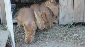 Duży czerwony królik na małym gospodarstwie rolnym zbiory